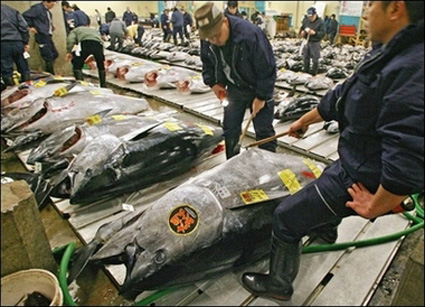 Bigeye Tuna quality check an Japan market