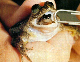Gastric brooding Frog