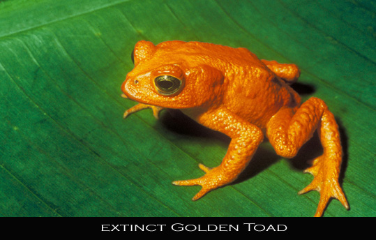 extinct Golden Toad