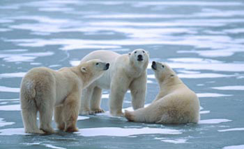 research paper on polar bears and global warming Below is an essay on global warming affecting polar bears from anti essays, your source for research papers, essays, and term paper examples polar bears the polar bear is the largest terrestrial carnivore, being more than twice the size of a siberian tiger.