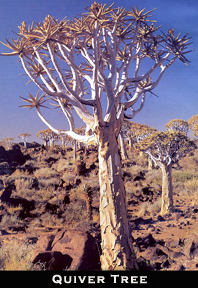 Quiver tree Africa