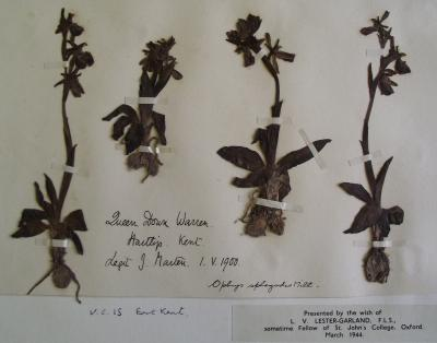 Herbarium sheet of the early spider orchid