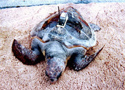 turtle satellite tracking