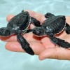 cute-baby-turtles-21601949